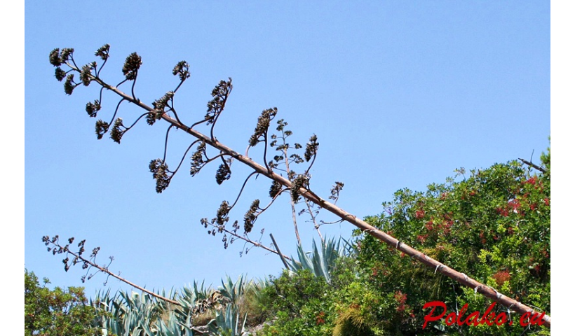 Chorwacka agawa