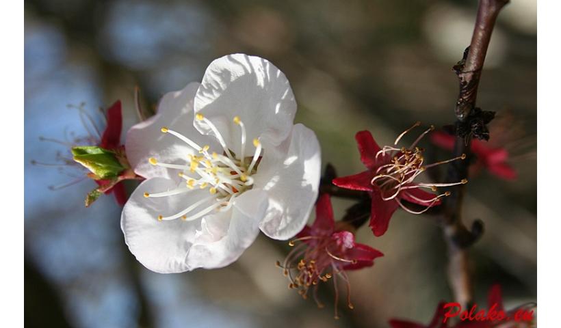 Drzewo migdałowca