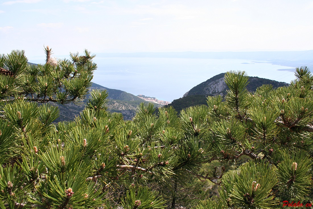 Sosny w Chorwacji