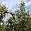 drzewo_oliwne