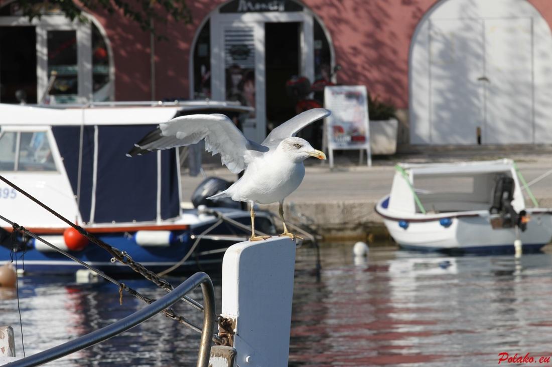 10 najpiękniejszych zdjęć mew nad Adriatykiem