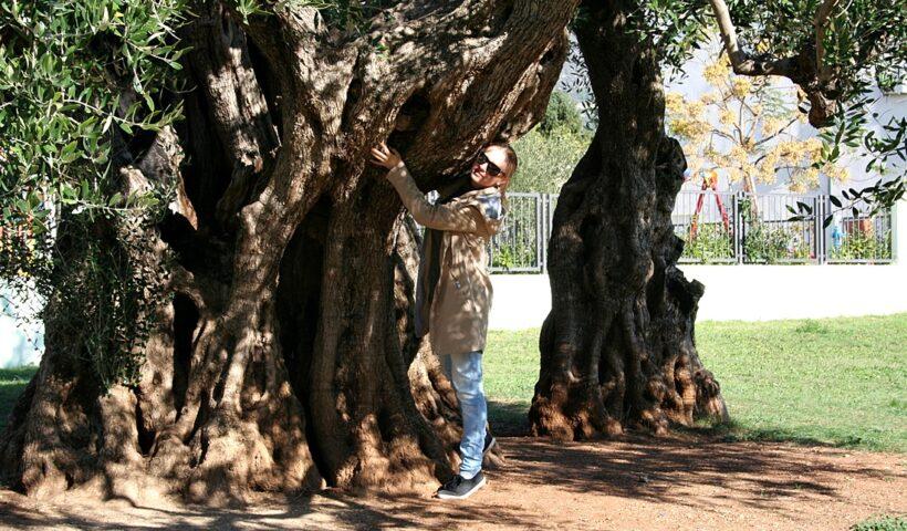 Wiekowe drzewo oliwne