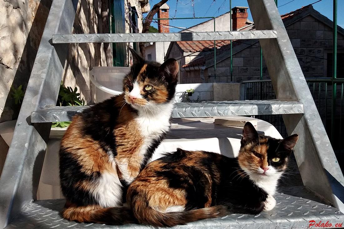 Koty w Dalmacji