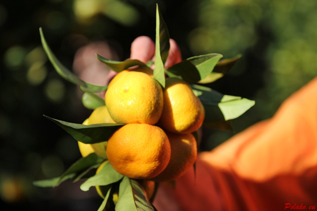 Sezon na mandarynki w Chorwacji