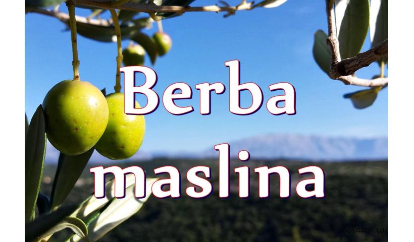 Zbiory oliwek w Chorwacji